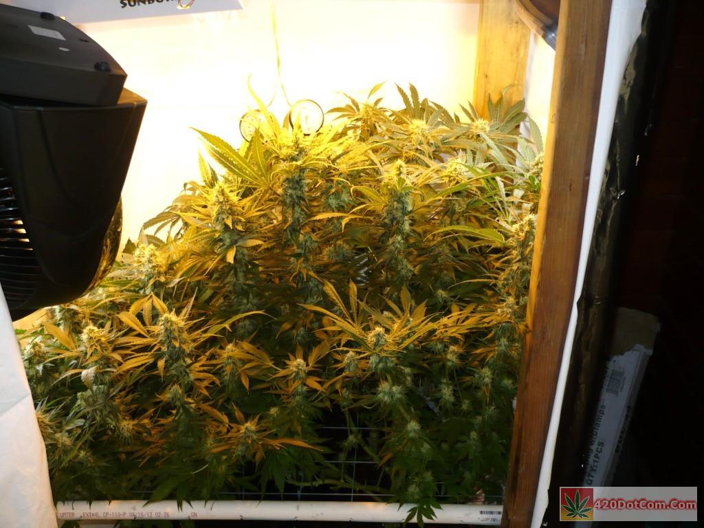 jock horror 5th Week Flowering 1 20 13 003