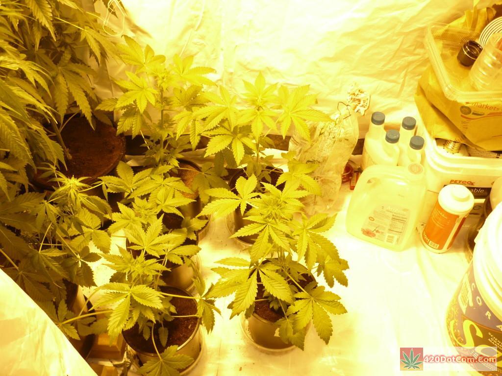 Jackberry Week 4 Starting To Flower