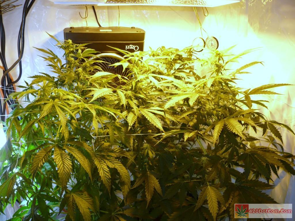 jack herer week 7 and flowering getting heavier