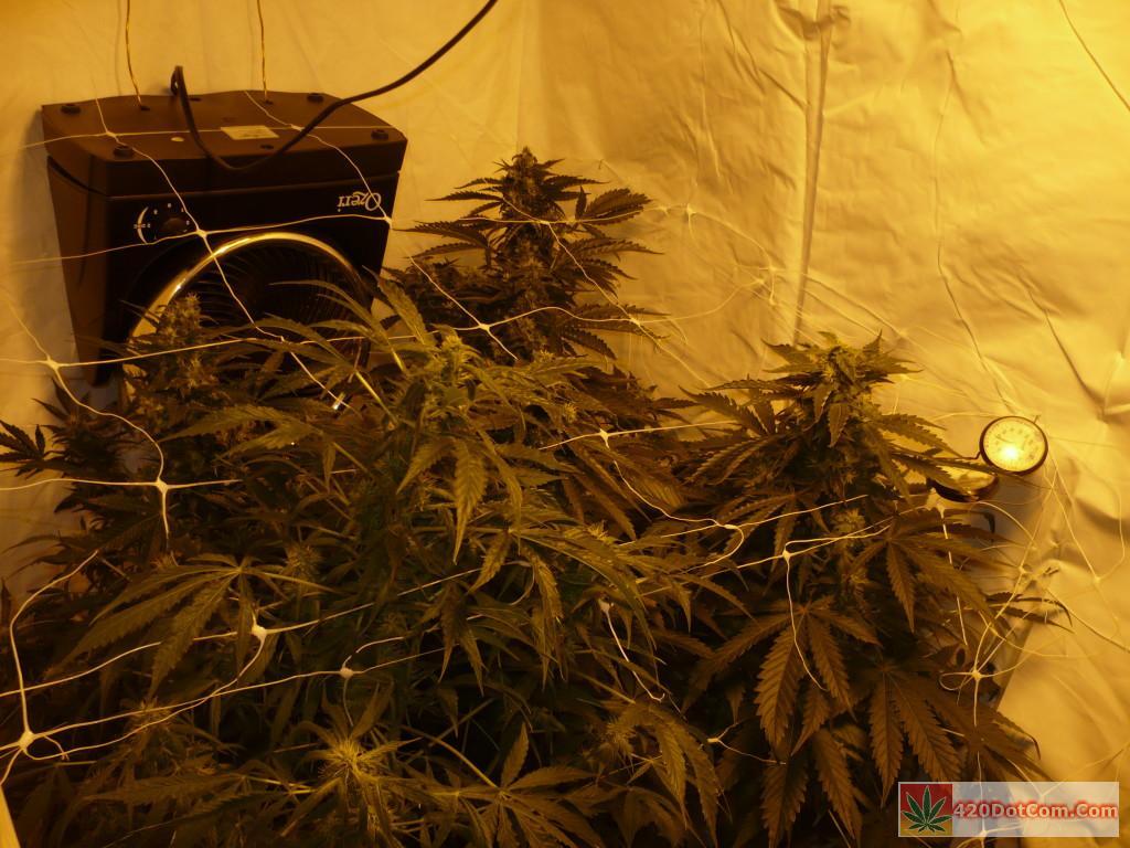 Jack Herer Week 8 Buds