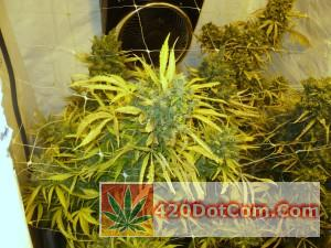 jack herer-Weeks 9 -11 Jack Herer Almost Ready
