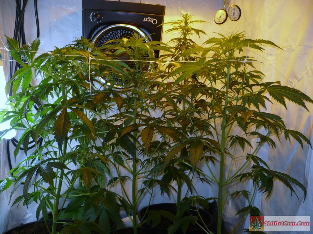 Jack herer 001 nice and green