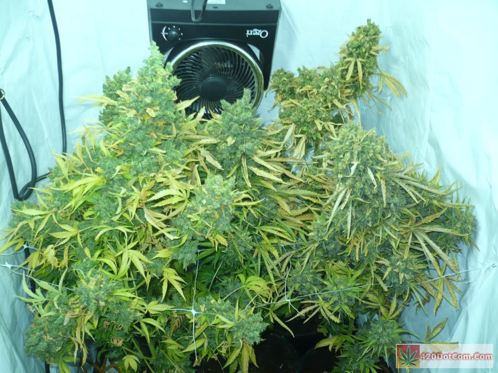 jack herer just before harvest Bud da boom!