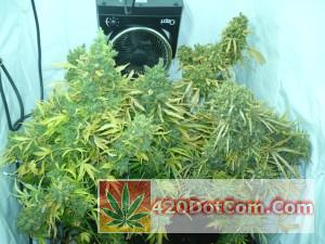 jack herer just before harvest