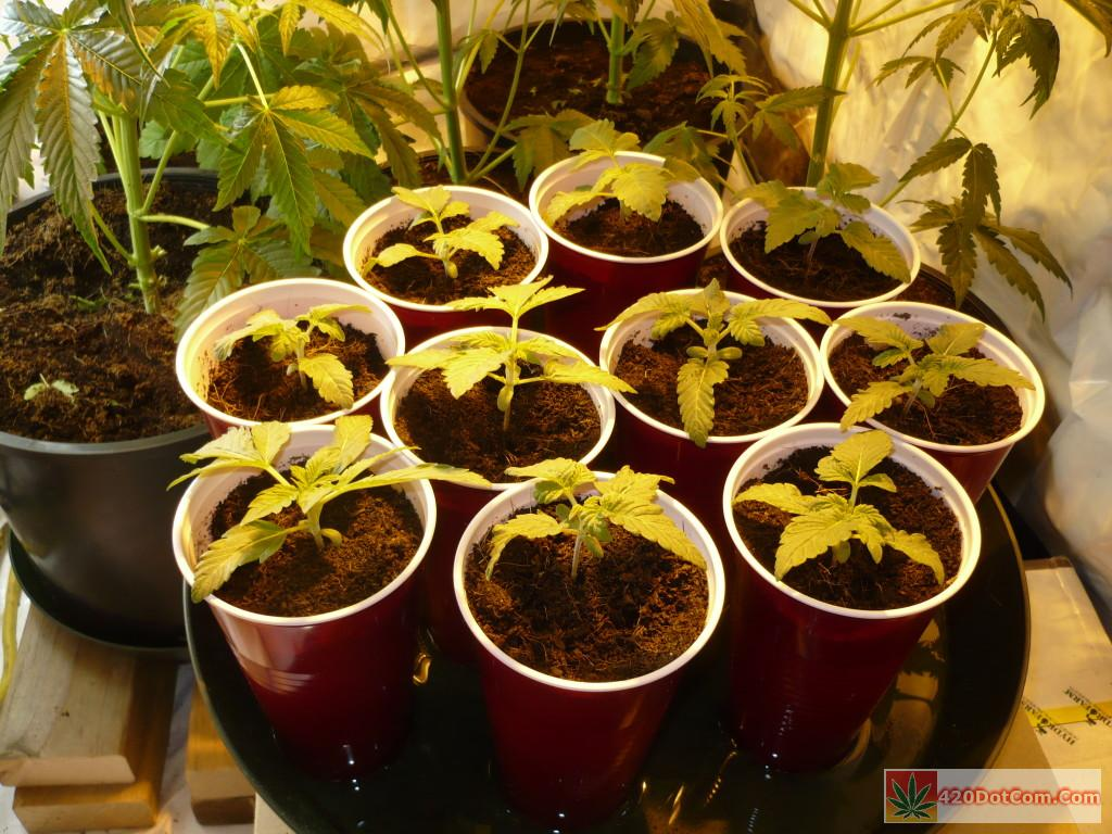 jackberry seedlings 1 week from emergence