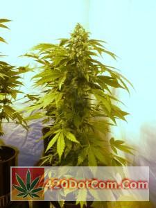 jackberry 004 - Nice open, columnar growth structure