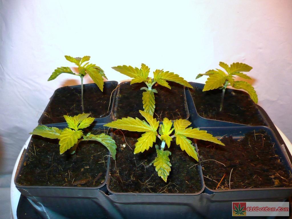 Jack Herer Grow - jack herer seedlings week 1