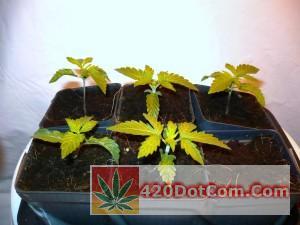 jack herer seedlings week 1
