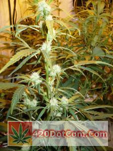 Cinderella 99 Plant #6