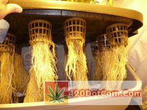 DIY AeroponicS Roots