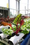 Organic Hydroponics With A DIY Aquaponics System