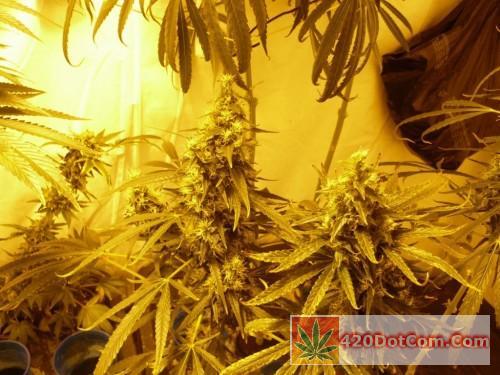 African Weed 003 - Ciskei girls enjoying the light