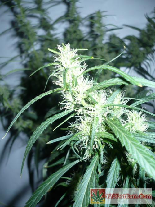 African Weed 015 Ciskei flowers