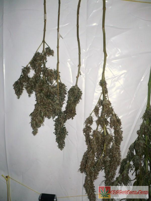 African Weed Harvest 002 Three Ciskei on the left and a smaller Congo to the right