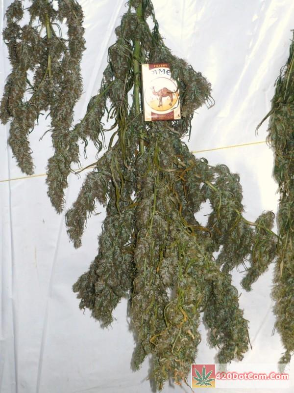 African Weed Harvest 003 This is a closer look at the monster cola from King Congo but maybe it should be renamed King Kongo because of its size.