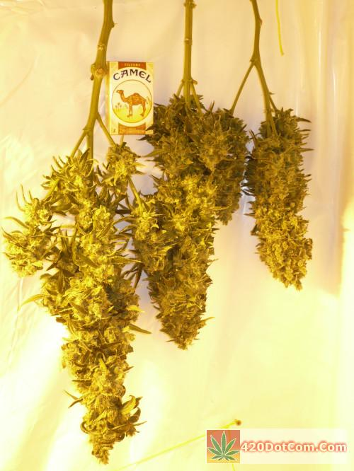 Cindy 99 004 - Cindy cut #7b, Cindy by Jackberry cross, Cindy 99 cut #3 allharvested at 45 days good sized colas