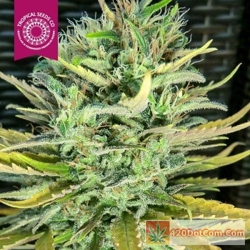 Ciskei African Weed Strain