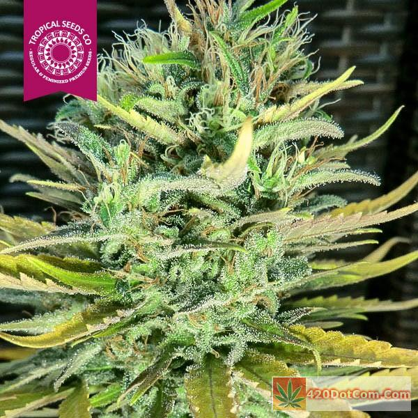 African Weed – Ciskei And King Congo Grow