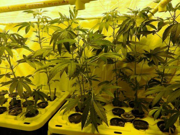 Karmarado OG Day 14 Of Flower lower down view