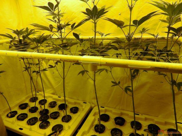 Karmarado OG Day 21 Of Flower Bare bottom karmarado og girls