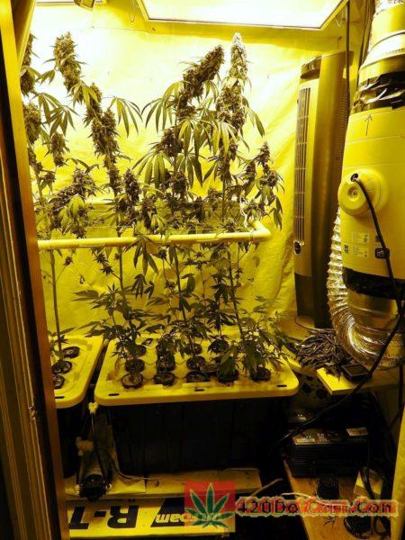 Karmarado OG in grow closet at week 8