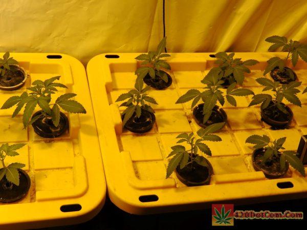 white og seedlings at 7 days