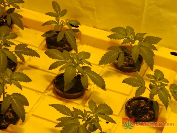 Karma Genetics White OG seedlings at 7 days
