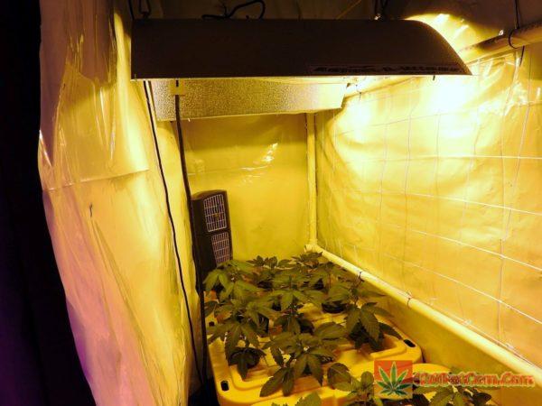 1 Week White OG Plants Under 600 Watt HPS