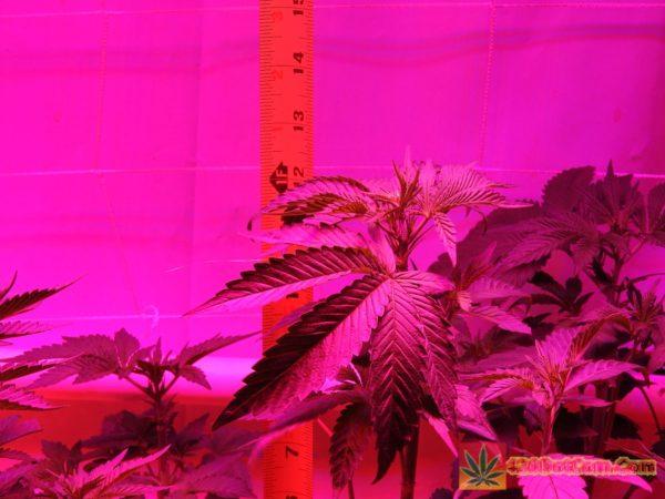 DSCN0236 Week 3 HPS VS LED Comparison