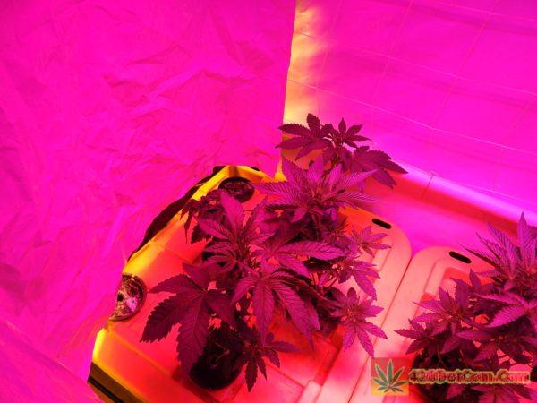 DSCN0246 Week 3 HPS VS LED Comparison