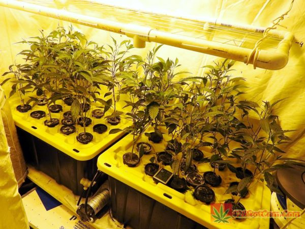 Karmarado Strain Grow #2 1000W High Pressure Aeroponics