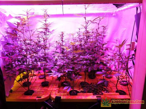 Plants with just the Platinum LED veg lights on