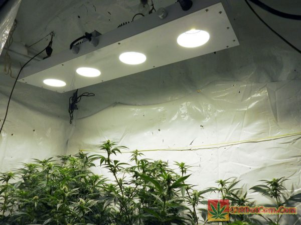 Karmarado Og canopy day 21 under COB LED grow light from Pacific Light Concepts CXP-250