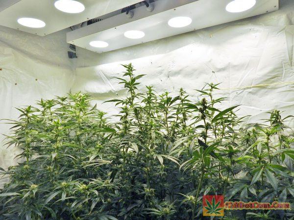 Karmarado OG 500 w COB LED grow