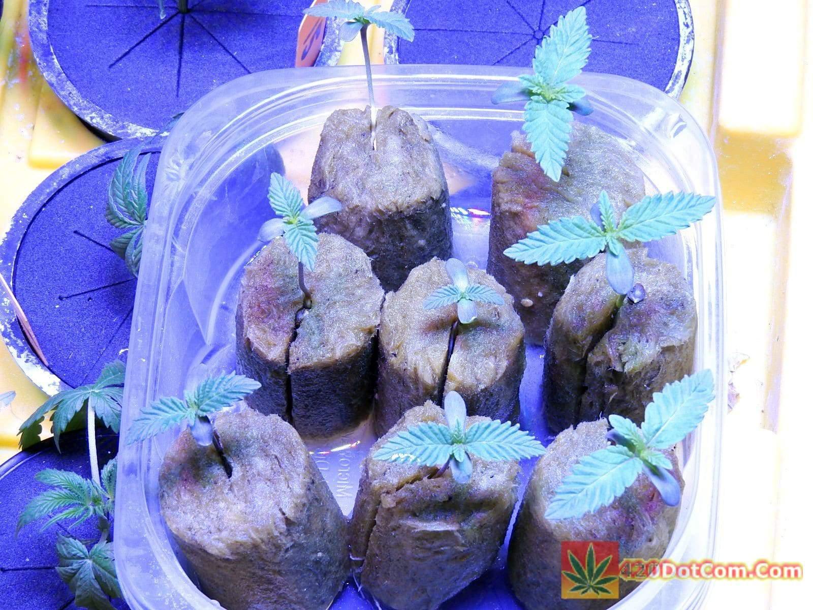 Vegging Cannabis With Cheap LED Aquarium Lighting makes nice short seedlings