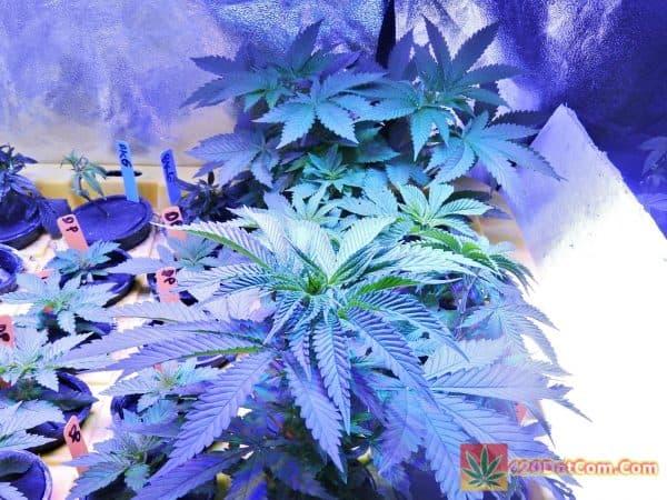 Ocean Grow Seeds 30 Days Jawa Kush Update