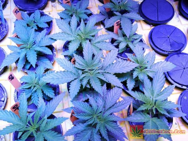 Dark Plasma Ocean Grown Seeds @21 days
