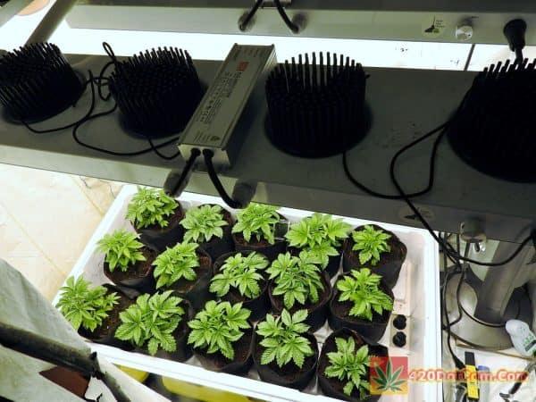 HAPPY ALIEN RIFT PLANTS UNDER COB LED LIGHTING