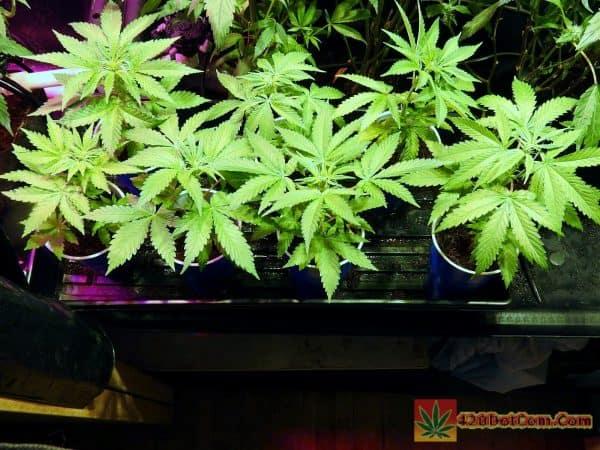New Cannabis Breeding Project (Sannies Sugar Punch X C99)