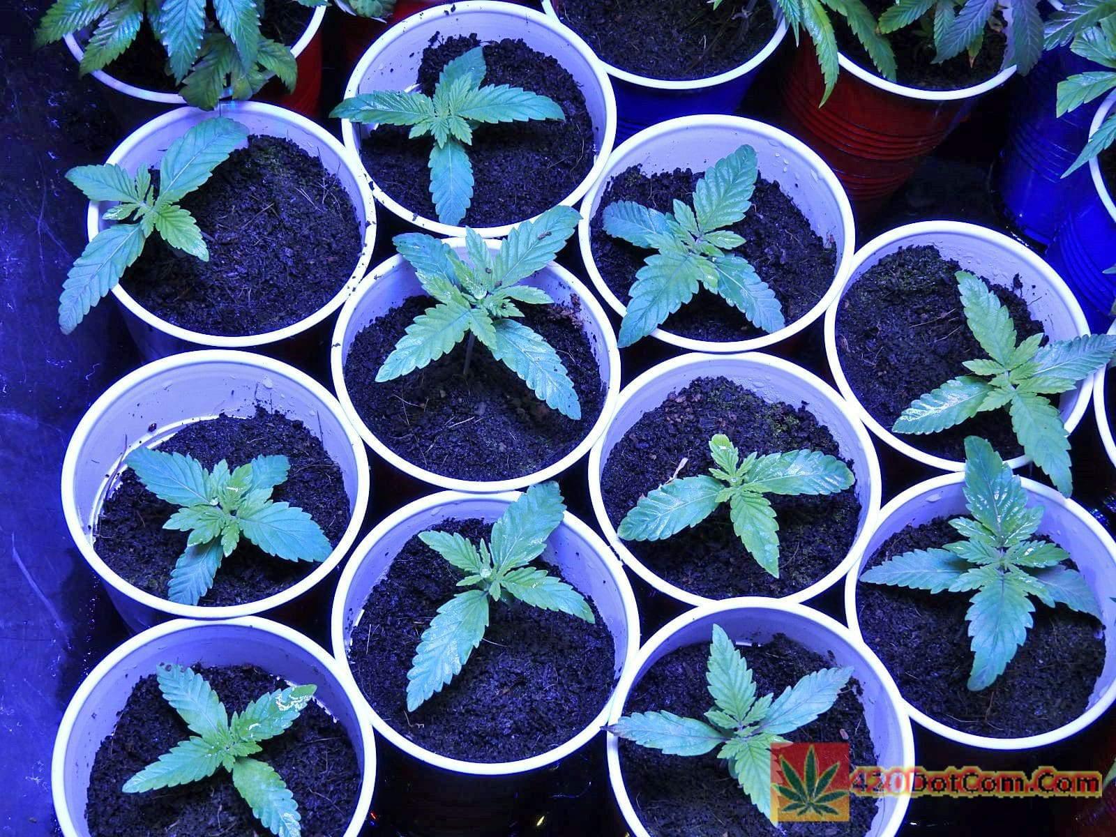 Gorilla Glue Seeds - Gorilla Bubble Grow Day 10