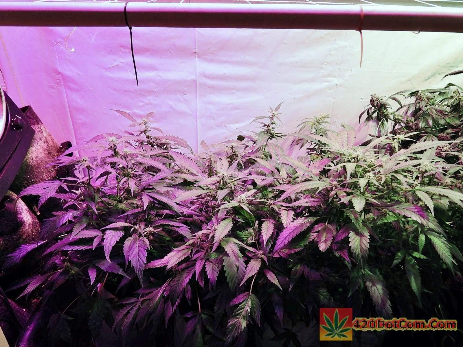 Cannabis Breeding Project Day 6 Sannies Sugar Punch X C99