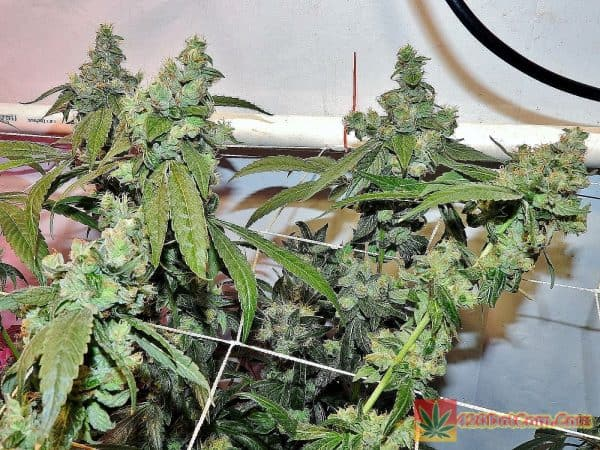 Karma Genetics – White OG V2.0 – Heavy 16 Coco Grow