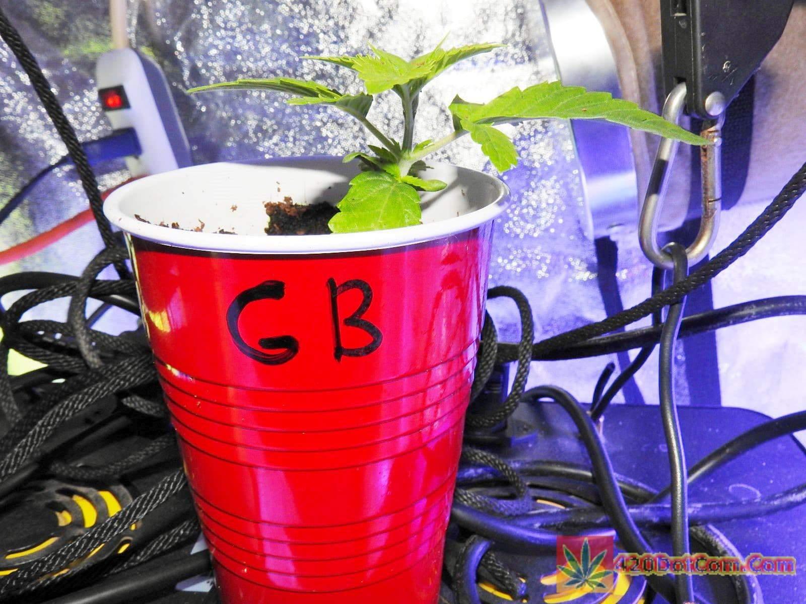 Gorilla Bubble day 14 seedling