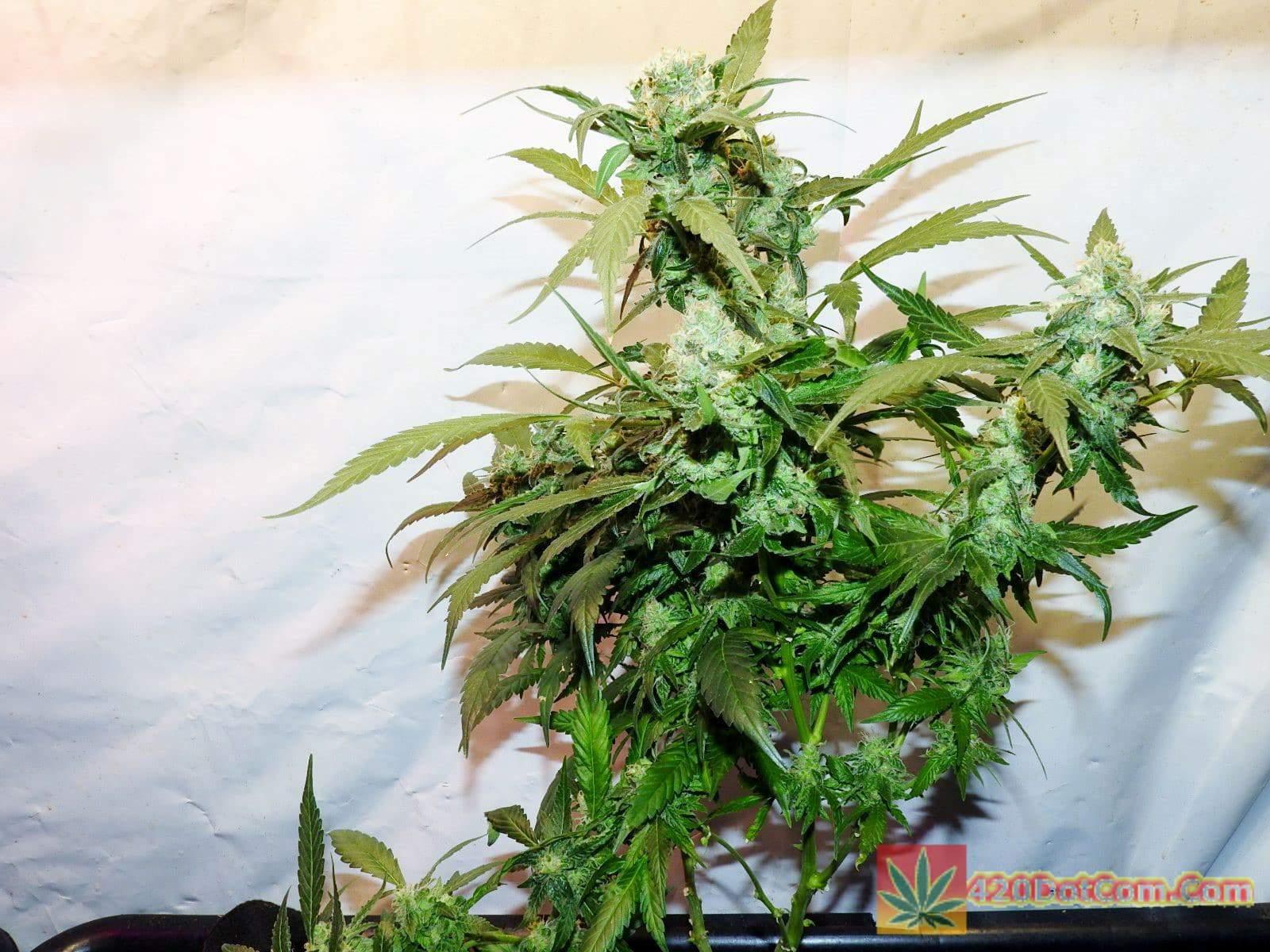 Sugar Punch X Cindy 99 Day 47 Whole Plant