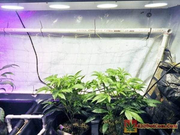 True OG Strain - vegging under COB LED grow light