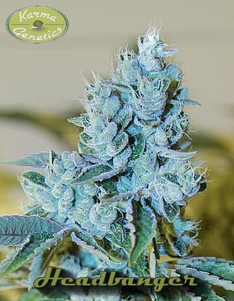 Karma Genetics Headbanger
