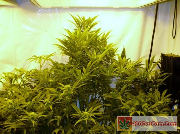 Cindy part of the scrog