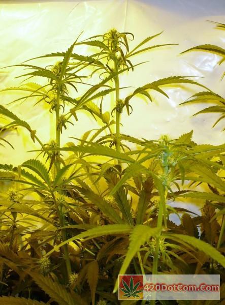 flower development on Sugar Punch