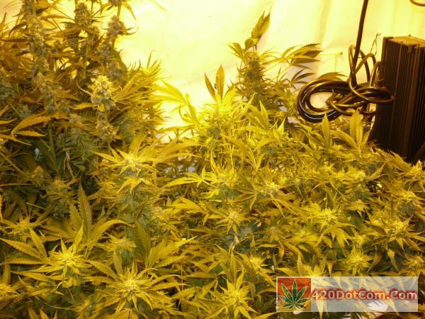 Sugar Punch C99 Scrog 2-7-14 P1000794