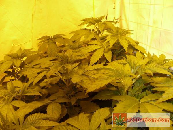 HA OG 3-15 - nice uniform plants